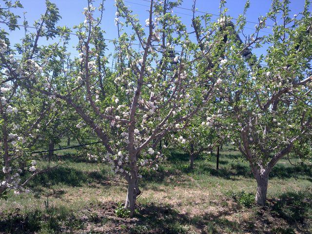 Asturias con niños: Especial La Floración Manzano